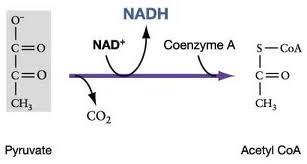 The oxidation of pyruvate