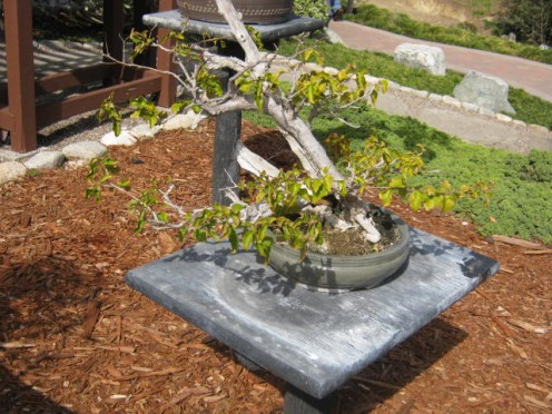 Photos of Bonsai Trees at San Diego's Japanese Friendship Garden,  via It's a Jungle Out There