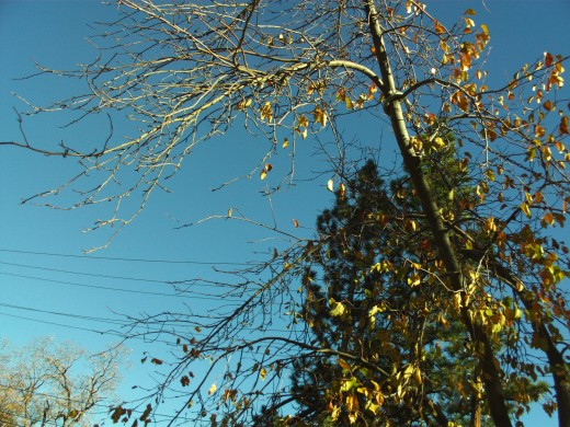 Blue sky and the yellow leaves of fall.