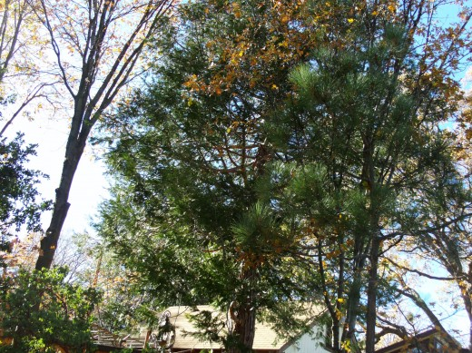 Sunlit pine trees.