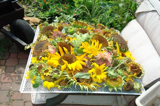 Saving seed from flowers to use the next year.