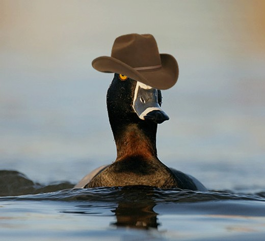 Rare Photograph of an endangered Harlan Duck. QUACK!