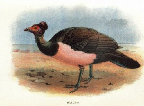 "Antique lithograph Print of ""MALEO (Celebes, Sanghir Islands, Indonesia)"" published in 1896 for ""Lloyd's Natural History of Game Birds"" by W.R.Ogilvie-Grant."