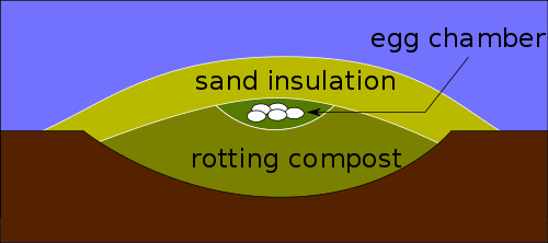 Cross section of a Megapode mound, showing layer of insulating sand, eggs and rotting compost. The mound is regulated to 33C (91F) and 99.5% relative humidity by opening and closing air vents.