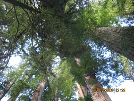 Looking into the canopy, you cannot see the tops