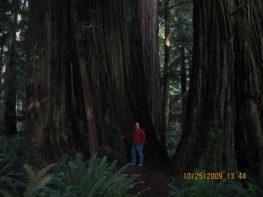 My husband is no small man, the ancient Redwood towers over him