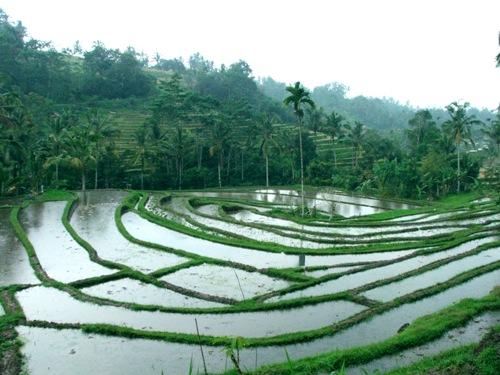 Rice paddy, where Wild bettas live.