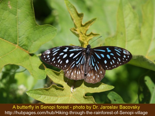 Butterfly from the rainforest of Senopi village in Tambrauw mountains of West Papua province of Indonesia