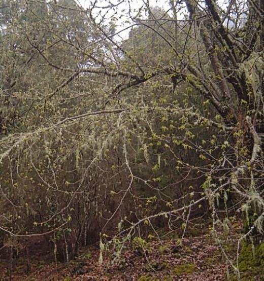 Trees with hanging lichen at La Caldera
