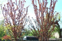 Add color and interest to your backyard while adding privacy by planting trees.These are Newport  Plums