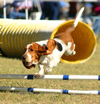 Basset Hound Show Dog