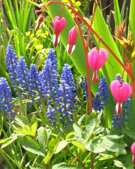 Grape hyacinth and bleeding hearts are two plants from my own garden that faeries like.