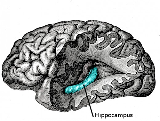 The hippocampus is important to memory and shrinks in later adulthood if aeorbic exercise is not used regularly.