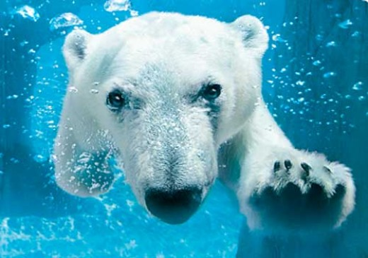 San Diego Zoo Polar Bear