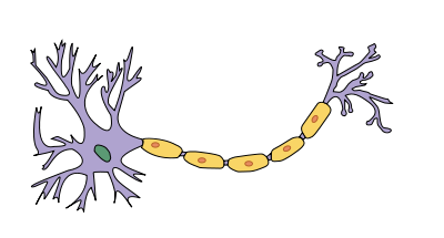 Cell body to the left with attached dendrites. The yellow length is the myelinenated axon, ending in axon terminals to the far right.