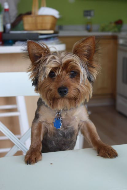 The Yorkshire Terrier dog