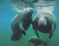 Dugong dugong