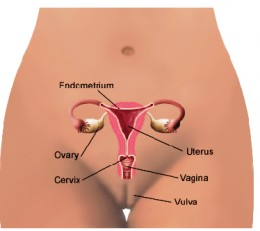 Female reproductive organs. Events here are controlled by a finely choreographed release of hormones from parts of the brain