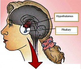 Hormones released from the hypothalamus and pituitary gland in the brain are vital for onset and the continuing regular menstruation.