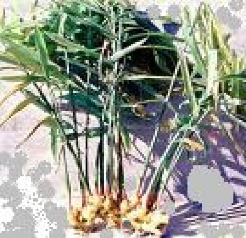 Ginger: A Pungent Medicinal Herb