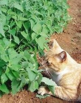THIS CAT CAN'T WAIT FOR THE CATNIP TO BE DRIED AND RUBBED ON A TOY!