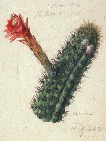 Cleistocactus acanthurus