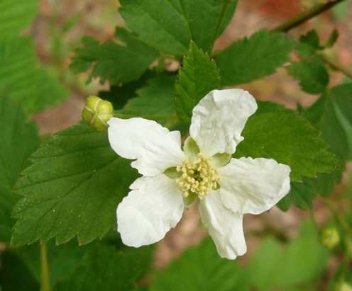 A Lulawissie Blackberry blossom