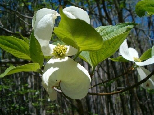 A fragrant Dogwood