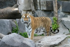 The Tiger is one of nature's perfect killing machines.  Photo courtesy of Wikipedia Commons Public Domain Submitted by Softeis