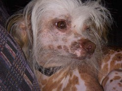 "Chinese Crested have been considered one of the Weirdest looking dogs around. This is ""Rocco"" my sister-in-law Jennifers little darling! Isn't he handsome?"