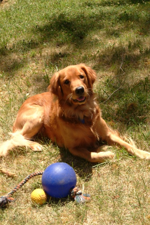 Choking hazards occur when the size of the tennis ball is too small for the size of your dog.
