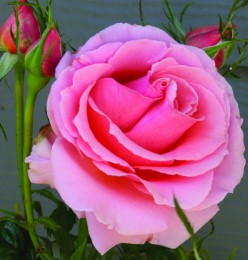 This Beautiful rose is for you mom!