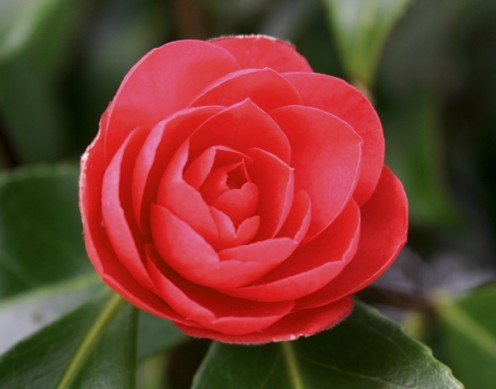 Camelia in bloom