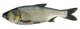 Picture of a Silver Carp