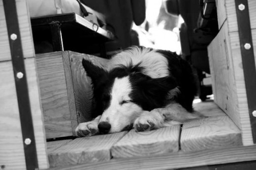 black and white collie