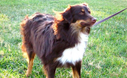 border collie mix and shepherd dog mix