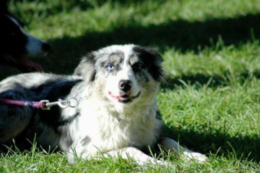 merle border collie puppy