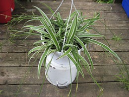 spider plant courtesy madaise/flickr