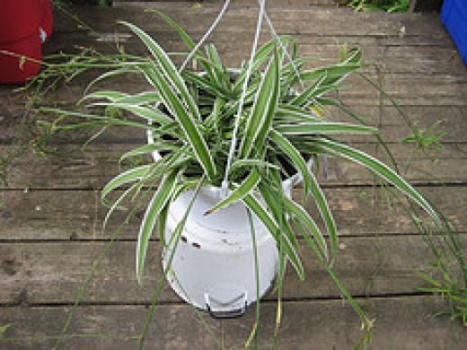 spider plant courtesy madaise/flickr
