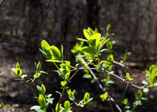 Honeydew shrubs among the first plants to green out in Spring