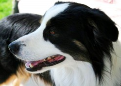 Border Collie Dog Breed Facts & Border Collie Information