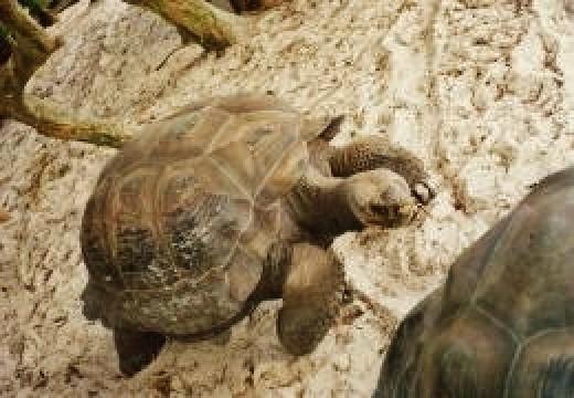 Galapagos tortoises on Discovery Island