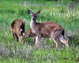 Deer by dear Al Ventimiglia