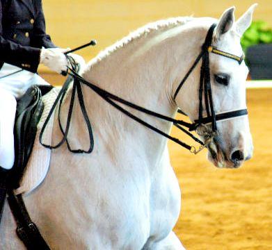 White Horse - Dressage Equestrian Horse Picture