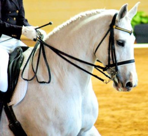 White Horse - Dressage Equestrian Horse Picture