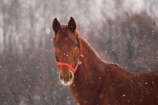 Red Horse Picture - horse in snow