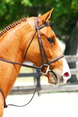 chestnut dressage horse pic