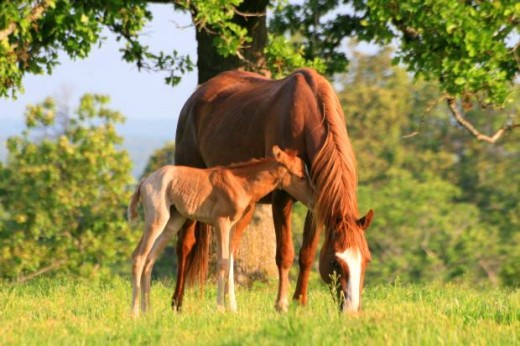 chestnut baby horse with chestnut horse mare