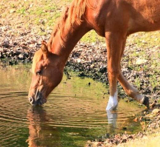 short pony horse drinking water