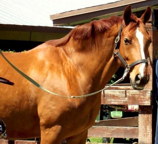 chestnut horse outside